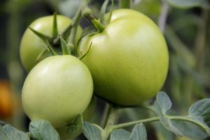 Zielone owoce na pomidorach
