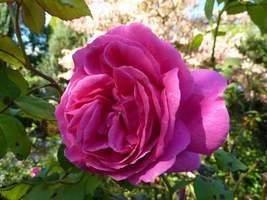 Róże są sadzone pośród roślin zielnych