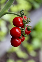 "Drobne pomidorki typu ""cherry"""