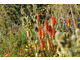 Eryngium agavifolium i trytoma