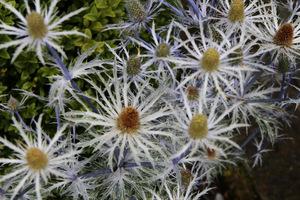 Eryngium bourgatti 'Cobalt Star'