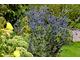 Eryngium planum 'Blue Glitter'