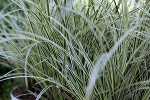 Carex 'Everest' ma paskowane na biało liście