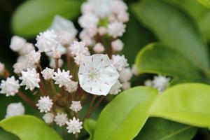 Kalmia angustifolia należy do roślin wrzosowatych