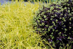 Carex elata 'Aurea' i Pittosporum tenuifolium 'Atropurpureum'