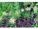 Ciemne liście żurawek (Heuchera)