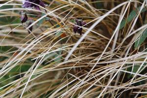 Carex 'Bronzita'