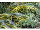 Carex i trytoma zabezpieczone od mrozu