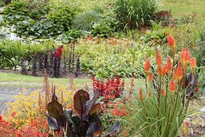 Do lobelii pasują pomarańczowe montbrecje, trytomy, kanny, liliowce i fioletowe, wysokie szałwie