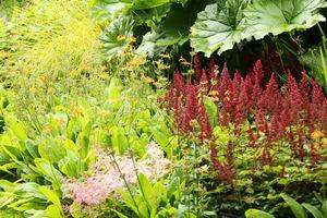Ciemne kwiatostany tawułki (Astilbe)