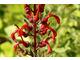 Diabelski tytoń czyli Lobelia tupa to w naturze duża, kępiasta bylina, pochodząca z wysokich Andów