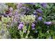 Eryngium agavifolium