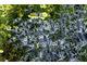 Eryngium zabelli 'Big Blue'