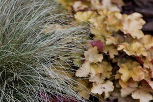 Carex 'Frosted Curls' i Heuchera 'Caramel'