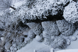 Zimozielone rośliny przysypane śniegiem