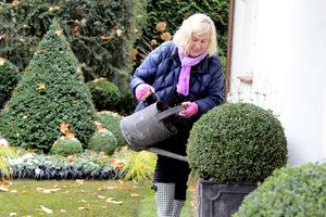 Podlewanie donic z bukszpanami przed zimą