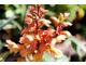 Isoplexis canariensis - kwiatostan