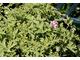 Pelargonium 'Lady Plymonth'