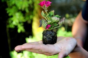 Ukorzeniona sadzonka pelargonii