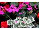 Pelargonium 'Southern Charm'