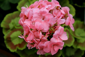 Pelargonium 'Mrs Quilter'