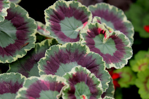 Pelargonium 'Dolly Varden' - liście