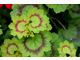 Pelargonium 'Golden Harry Hieover'