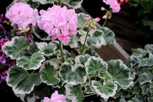 Pelargonium 'Chelsea Gem'