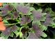 Pelargonium 'Purple Heart'