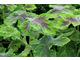 Pelargonium 'Chocolate Peppermint'