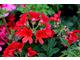 Pelargonium 'Scarlet Unique'