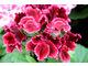 Pelargonium 'Rimfire'