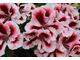 Pelargonium 'Aztec'