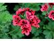 Pelargonium 'Crimson Unique'