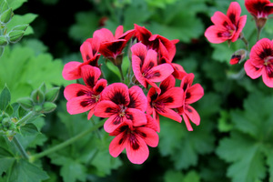 Pelargonium 'Crimson Unique'