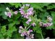 Pelargonium 'Attar of Roses' - niesamowity zapach róży