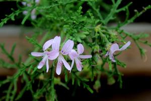 Pelargonium radens - zapach różany