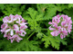 Pelargonium 'Camphor Rose' - zapach różany