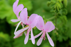 Pelargonium crispum 'Super Rupert' - zapach cytryny