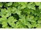 Pelargonium 'Charity' - liście pachnące cytryną i żywicą
