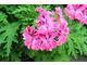 Pelargonium 'Lara Starshine'  - jedna z najlepszych i najdłużej kwitnących cytrynowych pelargonii, z jasnoróżowymi, ładnymi kwiatami