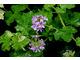 Pelargonium 'Charmay Snow Flurry' - liście przyprószone śnieżną bielą