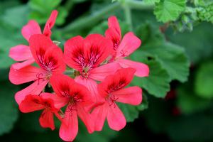 Pelargonium 'Lady Scarborough' - efektowne kwiaty, nietypowe dla pelargonii o pachnących liściach