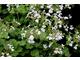 Pelargonium 'Isabel Eden' - zapach miętowy