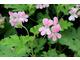 Pelargonium 'Sweet Mimosa' - pachnie cytryną i różą