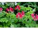 Pelargonium 'Shottesham Pet' - jasnozielone liście o lekkim zapachu orzechów laskowych