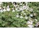 Pelargonium 'Ardwick Cinnamon'- szaro-zielone liście  pachnące cynamonem