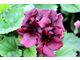 Pelargonium 'Morwenna'