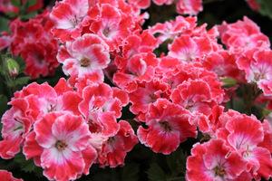 Pelargonium 'Joan Morf'