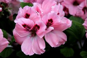 Pelargonium 'Carisbrooke'